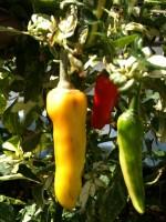 Aquaponics peppers in 3 colors