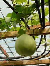 Travis Hughey aquaponics systems melon